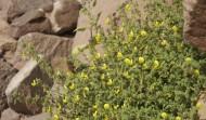 Wadi Rum Lawrence Spring Flower
