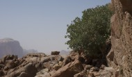 Wadi Rum Fig Tree at Lawrence Spring